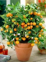 18″ Calamondin Orange Lamp
